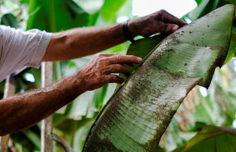 Farmers despair as volcano ravages La Palma's banana crop 1