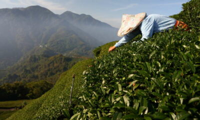 In Taiwan tea country, a scramble to adapt to extreme weather 7