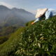 In Taiwan tea country, a scramble to adapt to extreme weather 8